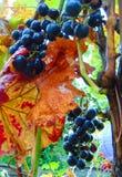 宏观照片有莓果颜色一片黑暗的树荫的成熟葡萄装饰背景  免版税库存图片