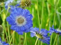 宏观照片有装饰庭院花背景与瓣的在蓝色颜色树荫下  免版税库存图片