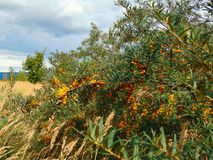 宏观照片有装饰纹理背景和明亮的橙色和桑悬钩子属 免版税库存图片