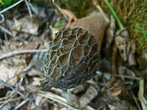 宏观照片的Morchella conica奇怪的圆锥形的蘑菇关闭 免版税图库摄影