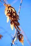宏观照片 单独冬天、被染黄的叶子和收缩的莓果fisyat在树光秃的分支在清楚的蓝天 免版税库存照片