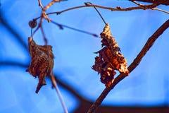 宏观照片 孤独,黄色和叶子烘干了,在树分支的vsyat在明亮,蓝色冬天天空下 库存照片