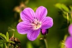 宏观特写镜头狂放的新鲜的紫色花 库存图片
