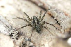 宏观特写镜头观点的长毛的小的蜘蛛 免版税库存照片