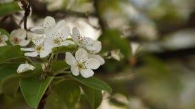 宏观白色开花的洋梨树 免版税库存图片