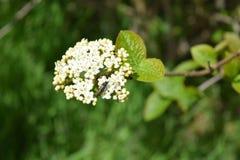 宏观白色树开花在一个晴天 库存照片