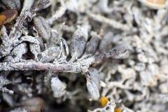 宏观白色死烘干的世界极性植物 免版税库存照片