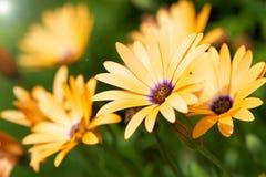 宏观的非洲雏菊 免版税图库摄影