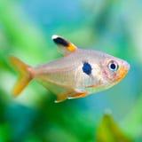 宏观看法四鱼 绿色美好的淡水池水族馆背景 免版税库存照片