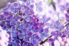 宏观看法开花的紫丁香属植物淡紫色灌木 与束的春天风景紫罗兰色花 丁香开花的植物 库存照片