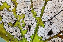 宏观看法摘要透明叶子最基本的纹理样式 自然变动概念 有机老化过程,特写镜头照片 库存图片