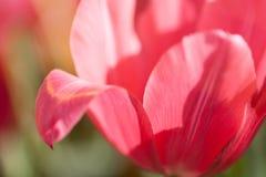 宏观看法桃红色郁金香瓣 春天在被弄脏的背景和阳光的花纹花样 软绵绵地集中 库存照片