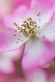 宏观看法-一朵桃红色花的polen 图库摄影