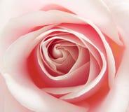 宏观粉红色上升了 免版税图库摄影