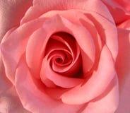 宏观粉红色上升了 库存图片