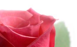宏观粉红色上升了 免版税库存照片