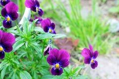 宏观紫罗兰的花 免版税库存图片