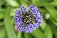 宏观紫罗兰色花 库存图片
