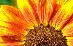 宏观红色向日葵 库存照片
