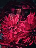 宏观红色的花 免版税图库摄影