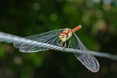宏观红色盯梢了在导线的蜻蜓,自然 免版税库存图片