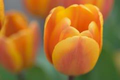 宏观纹理充满活力的色的春天郁金香花 免版税库存图片