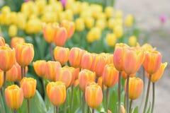 宏观纹理充满活力的色的春天郁金香花 库存照片