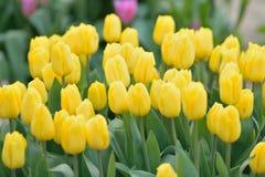 宏观纹理充满活力的黄色上色了春天郁金香花 图库摄影