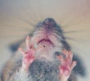 宏观老鼠的脚 免版税库存图片