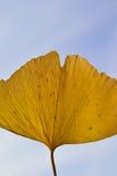 宏观背景日本秋天黄色银杏树叶子 免版税库存图片