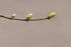 宏观自然春天树枝发芽新鲜的绿色叶子 特写镜头在棕色背景,选择聚焦的照片枝杈 免版税库存照片