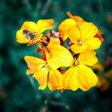宏观花和蜂 免版税库存照片