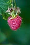 宏观莓 免版税库存照片