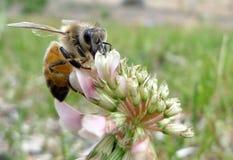 宏观蜂蜜蜂 免版税图库摄影