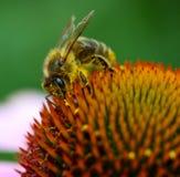 宏观蜂 免版税库存图片