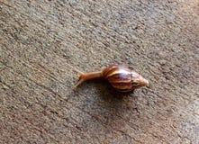 宏观蜗牛 图库摄影