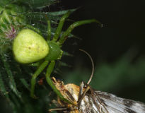 宏观蜘蛛-人我要拥抱您的蜘蛛和飞蛾的luesha晚餐 免版税库存图片
