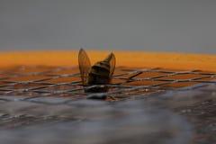 宏观蜜蜂的螯 免版税库存图片