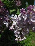 宏观蝴蝶灌木丛在部份树荫下 图库摄影