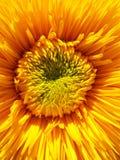 宏观装饰向日葵中心 免版税库存照片