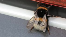 宏观观点的土蜂 白被盯梢的土蜂熊蜂lucorum 一只大土蜂 土蜂,宏观录影 土蜂 影视素材