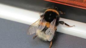 宏观观点的土蜂 白被盯梢的土蜂熊蜂lucorum 一只大土蜂 选择聚焦 昆虫 免版税库存图片