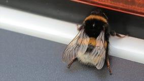 宏观观点的土蜂 白被盯梢的土蜂熊蜂lucorum 一只大土蜂 选择聚焦 昆虫 免版税库存照片