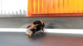 宏观观点的土蜂 白被盯梢的土蜂熊蜂lucorum 一只大土蜂 选择聚焦 昆虫 库存照片