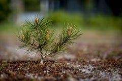 宏观观点的微小的杉木在春天 库存图片