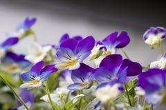 宏观观点的紫罗兰 库存图片
