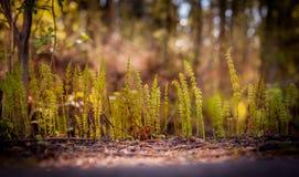 宏观观点的年轻木贼属植物草 免版税库存照片
