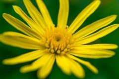 宏观观点的黄色雏菊 免版税库存照片