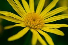 宏观观点的黄色雏菊 免版税库存图片