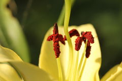 宏观雄芯花蕊和雌蕊百合 免版税图库摄影